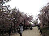 いろいろな桜.jpg